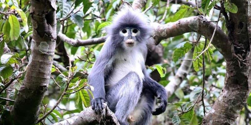 Nový druh opic langur Popa se vyznačuje výraznými kruhy kolem očí.