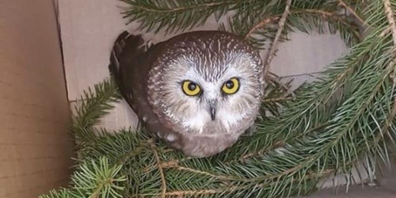 Samečka sýce amerického našli pracovníci ve vánočním stromku.