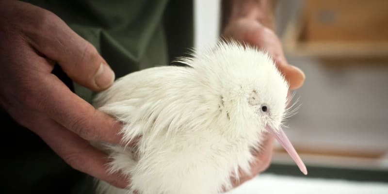 Samička ptáka kivi zahynula v pondělí.