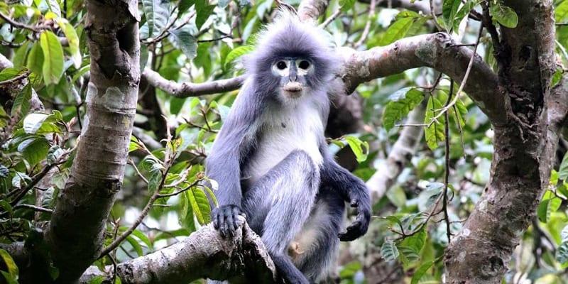 Kriticky ohrožené opice druhu Popa langur žijí pouze na jediném místě v Myanmaru (zdroj: Thaung Win)