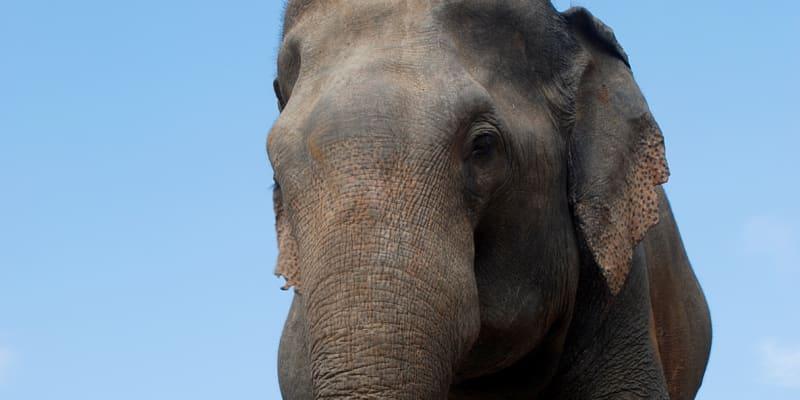 Slon indický může dorůst až do čtyř metrů a vážit přes čtyři tuny.