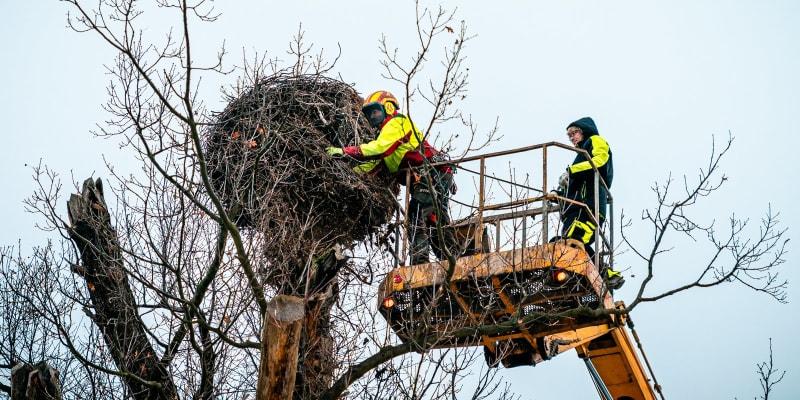 Ošetřovatelé kontrolovali, zda je hnízdo stabilní, a při té příležitosti z něj odstranili všechno, co by mohlo být pro ptáky nebezpečné.
