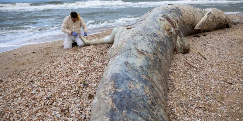 Na plážích našli řadu mrtvých zvířat, od želv, ryb až po sedmnáctimetrového plejtváka, ze kterého odebrali vzorky.