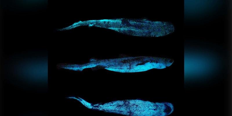 Světloun Bonnaterrův je nejpomalejším známým druhem žraloka.