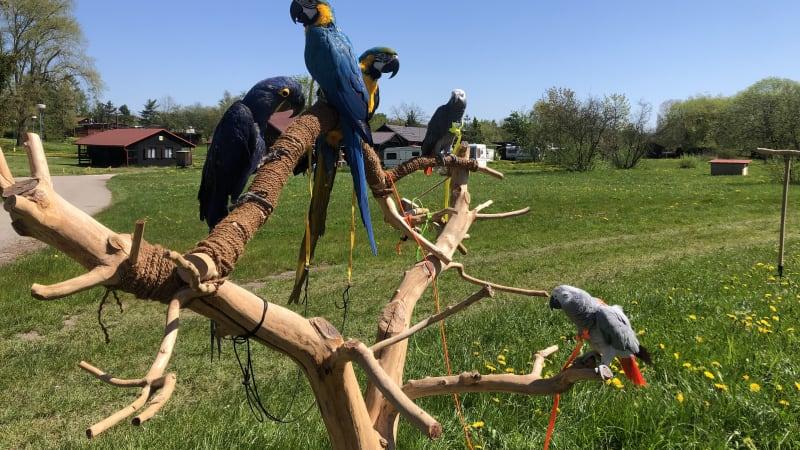 I papoušci v lockdownu trpěli nedostatkem společnosti. Chovatelé se konečně střetli