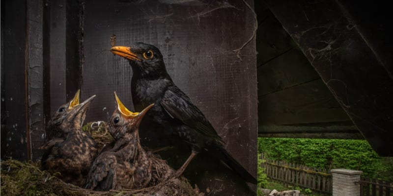 Vítězným snímkem se stala fotografie kosa krmícího v hnízdě mláďata od Igora Mikuly.