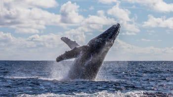 Potápěče spolkla velryba. Byla tam úplná tma, myslel jsem, že jsem mrtvý, popsal