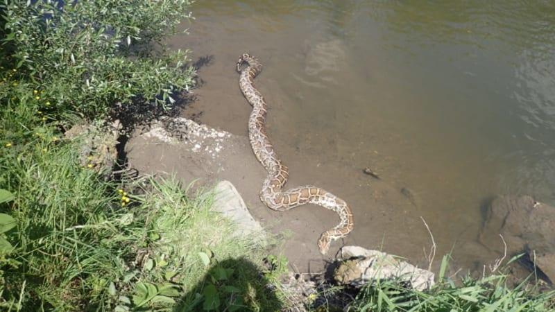 Chovateli na Karvinsku unikla šestimetrová krajta. Hasiči ji našli mrtvou v řece