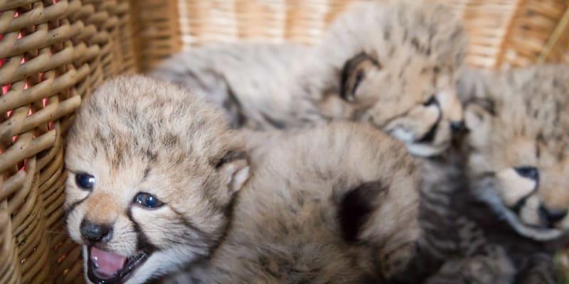 Gepardice ve Dvoře Králové porodila pět mláďat.