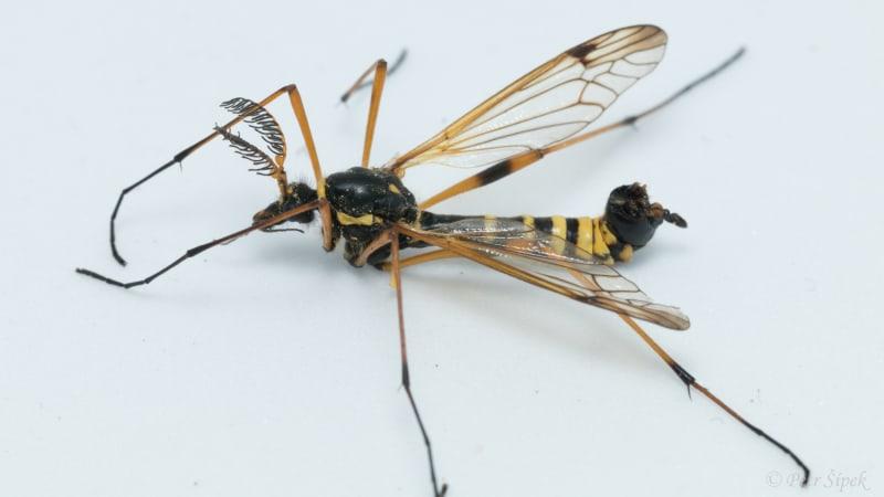 Tiplice: Větší příbuzná komára, která ale krev nesaje