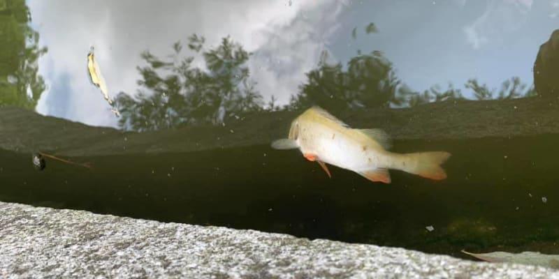 Mezi mrtvými živočichy proplouvá pár větších ryb, které zatím přežívají.