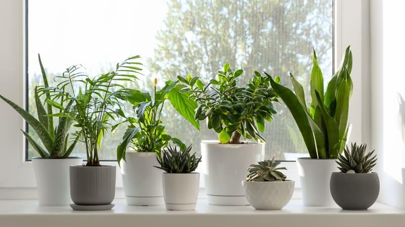 10 pokojových rostlin, které milují rozpálené okenní parapety
