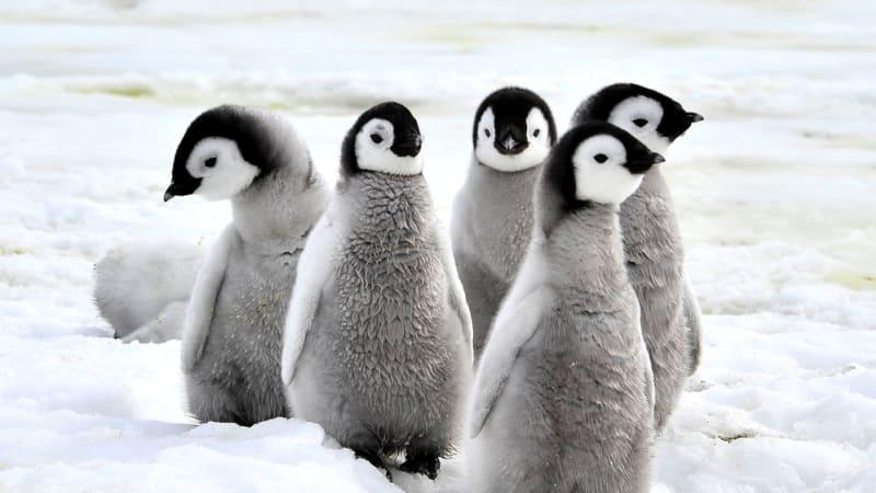 Tučňáci do konce století vyhynou, varuje studie. Pokud bude led ubývat stejným tempem