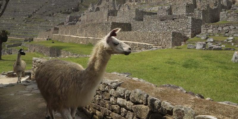Během pandemie byly jedinými návštěvníky Machu Picchu lamy.