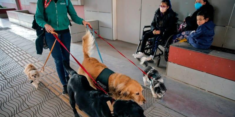 Zlatí retrívři a labradoři jsou díky své dobré povaze terapeutickými psy nejčastěji. Od štěňat jsou vychováváni v nemocničním prostředí, aby si zvykli na hluk přístrojů a personálu.