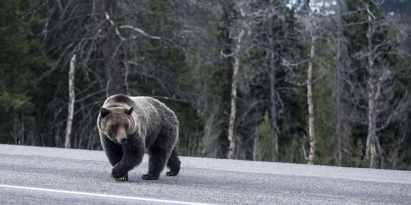 Medvědi v Japonsku se stále více objevují mimo svá teritoria, například na silnicích.