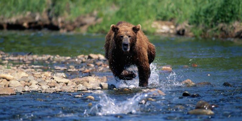 Medvěd lovící kořist v řece.