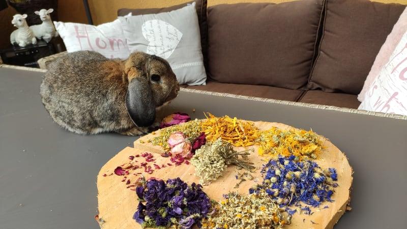 Zakrslý králík: Náročný mazlíček, který doplácí na zažité mýty