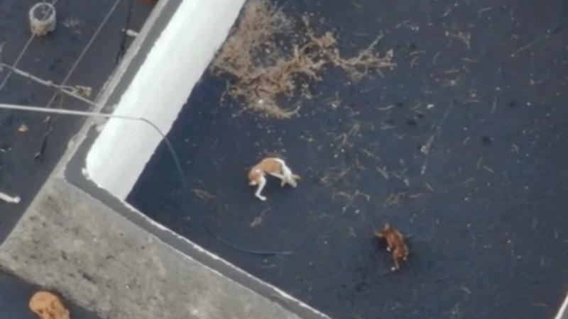 Vyhublí psi uvěznění v troskách domů na La Palmě dostávají krmení pomocí dronů